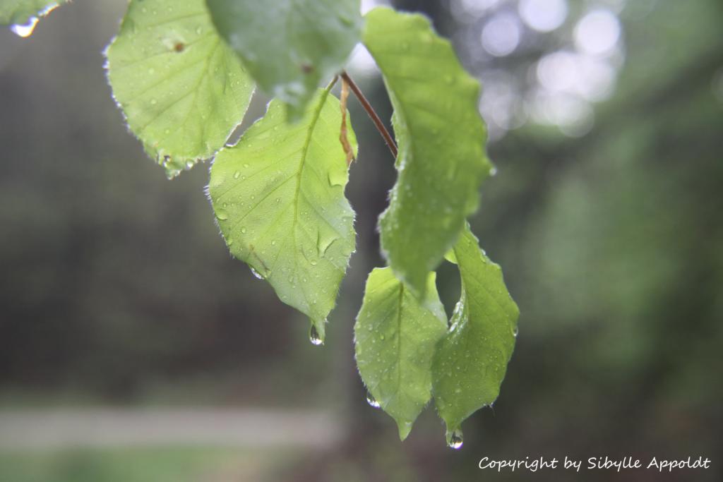 Regentropfen an Rotbuchenblättern